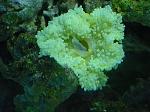 anemone2 med