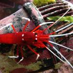 fire skrimp