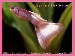 Japanese Pink White Guppy