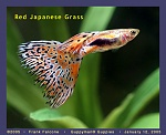 Red Japanese Grass