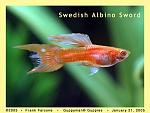 Swedish Double Swordtail