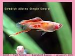 Swedish Single Swordtail