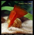 Czech Full Red Male Guppy
