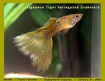 Japanese Variegated Snakeskin