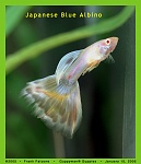 Japanese Blue Albino
