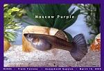 Moscow Purple Female Guppy