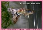 German Red Metal Lace Guppy