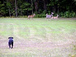 """This is our Pit Bull, """"Baby"""" protecting the the G-Men Ranch from ferocious guppy eating deer."""