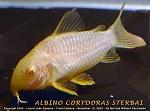 Albino Corydoras Sterbai Catfish