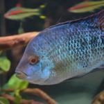 Herichthys sp. turquiose