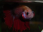 Carlitos, the fish