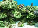 Mid Tank Shot of my 105G.  Tricolor acro frag, Millipora, Marshall Island Acro Frag, Derasa Clam, Favites brain, Platygyra Brain, Flourecent Shrooms,...