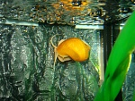 Apple Snail Photo