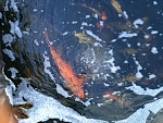 My 6,500 gallon fish pond......with koi