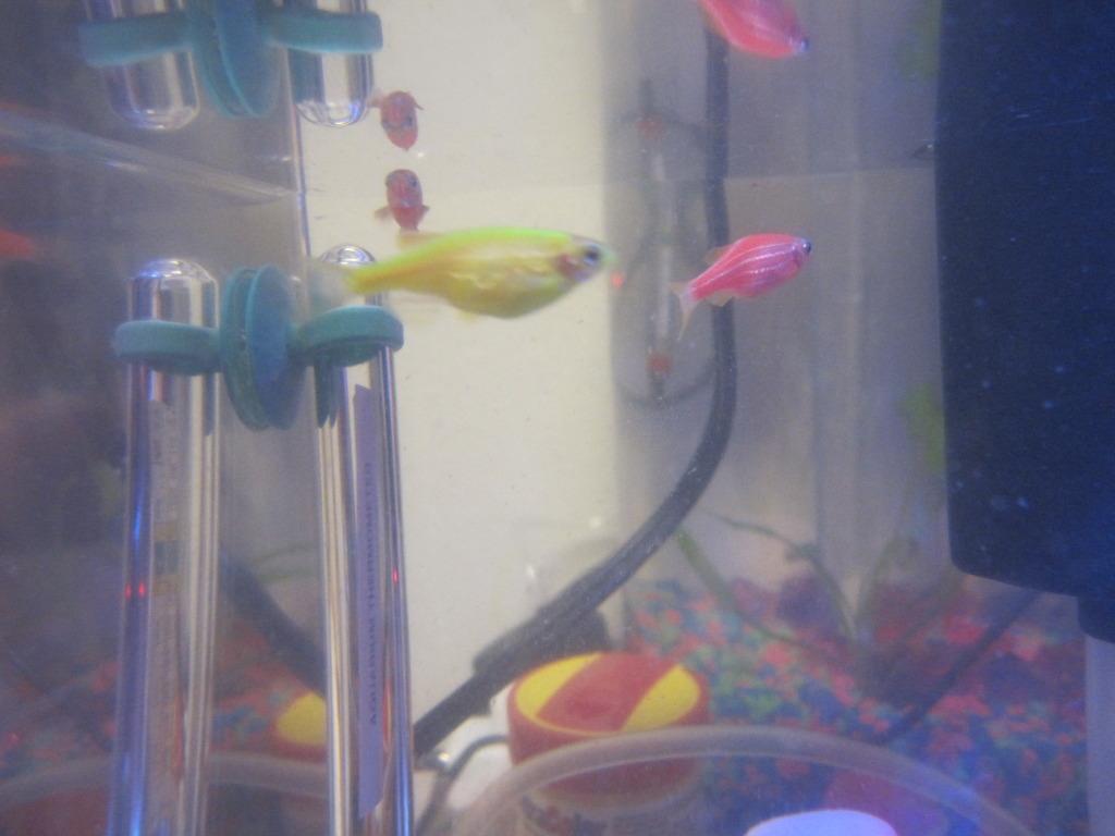 pregnant glofish compared to a fat glofish