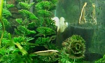 Bamboo Shrimp: Chuck & Charlie    RIP Chuck :(