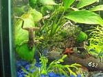 """African Dwarf Frog: """"Sam""""    RIP Sam :("""