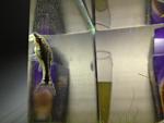 Current fish