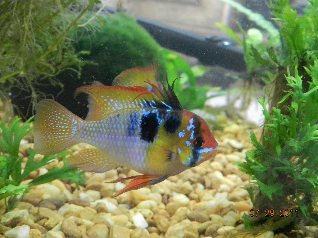 What tankmates for my new german blue ram aquarium for German ram fish