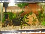 Sandra's 20 gal planted with glass shrimp
