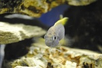 Yellow Tail Blue Acei