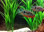 Male and Female Firemouth