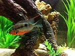 Male Firemouth