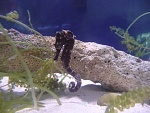 Seahorse Species Tank