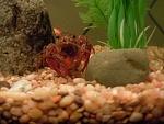 Crawdad (crayfish) and sunfish tank-10 gal
