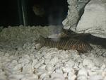 Bottom feeders (plecos/cats/loaches)