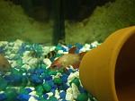 Labyrinth fish (Bettas/Gouramis)