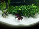 Zulu the Betta