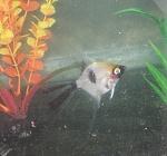 New Angelfish