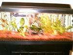 Freshwater livebearer tank