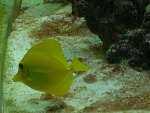 Yellow Tang (Zebrasoma flavesenes