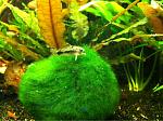 C habrosus playing on Moss ball
