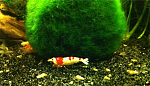Crystal Red Shrimp female