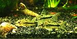 Corydoras habrosus (5 total)