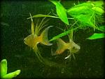 Threadfin Rainbow males