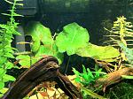 Dwarf tiger Water Lily