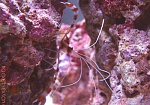 My new Coral Banded Shrimp showing off for the camera.    (really good camoflauge for such a colorful creature!)