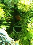 """spot"" the gourami"