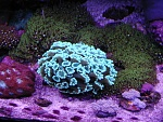 alveopora star polyps med