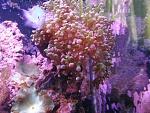 purpletip frogspawn med