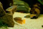 Daisy's Ricefish