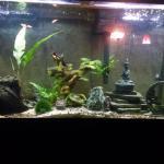 55 Gallon Planted Goldfish Tank