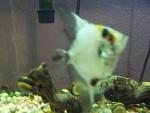 my angelfish