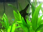 30 Gallon Angelfish Tank