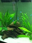 some neon tetras and cardinal tetras hanging out together