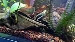 my chameleon gourami, lol, classic paradise fish look here.